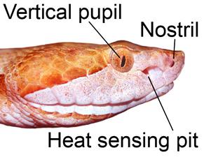 venomoussnakehead